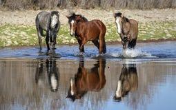 Salt River wilde Pferde stockfotografie