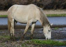 Salt River wildes Pferd, das im Fluss weiden lässt Lizenzfreie Stockfotografie