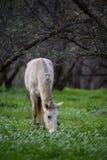 Salt River wildes Pferd, das im Wald weiden lässt Stockfoto