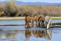 Salt River wildes Pferdebandporträt stockbild