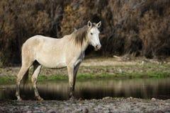 Salt River wildes Pferdehaltungen bei Sonnenuntergang stockbilder