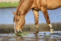 Salt River wildes Pferdenahaufnahme Stockfotografie