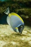 salt vatten för acanthurusfiskleucosternon Royaltyfri Fotografi