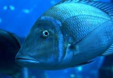 salt vatten för fisk Royaltyfria Bilder