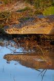 salt vatten för krokodil Royaltyfria Bilder