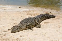 salt vatten för krokodil Royaltyfria Foton