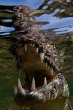 salt vatten för krokodil Royaltyfri Fotografi