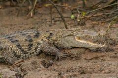 salt vatten för krokodil Arkivfoto