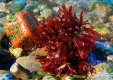 Salt water. Seaweed on the shore of Alki Stock Image
