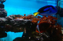 Salt-water aquarium fish and vegetation Royalty Free Stock Photos