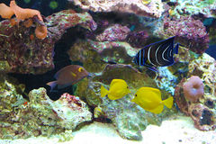Salt Water Aquarium Fishes Stock Image