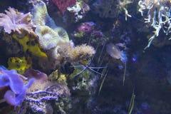 Salt water aquarium shrimp royalty free stock photography