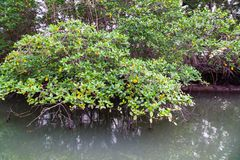 Salt water channels and mangrove trees. With their green leaves as the afternoon approaches stock photography
