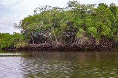 Salt water channels and mangrove trees. With their green leaves as the afternoon approaches royalty free stock photography