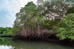 Salt water channels and mangrove trees. With their green leaves as the afternoon approaches royalty free stock photo
