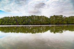 Salt water channels and mangrove trees. With their green leaves as the afternoon approaches stock images