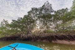 Salt water channels and mangrove trees. With their green leaves as the afternoon approaches royalty free stock image