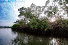 Salt water channels and mangrove trees. With their green leaves as the afternoon approaches stock image