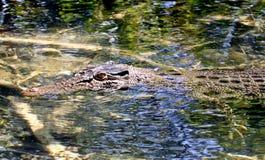 Salt water crocodile Stock Photos