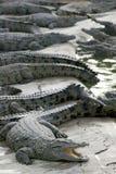 Salt Water Crocodile Royalty Free Stock Photography