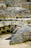 Salt water crocodile Stock Photography