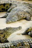Salt Water Crocodile Royalty Free Stock Image