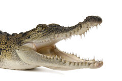 Salt water crocodile with its mouth wide open. Australian salt water crocodile with its mouth wide open ready to bight on a white background Royalty Free Stock Photography