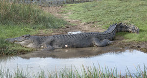 Salt water crocodile Stock Photography