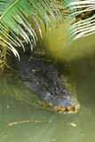 Salt water crocodile at surface. Close up of an Australian saltwater crocodile (Crocodylus porosus) on the water surface Stock Photo