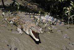 Salt water crocodiles Royalty Free Stock Photography