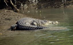 Salt water crocodiles. Sundarban wildlife sanctuary Royalty Free Stock Photos