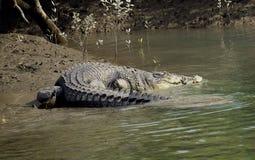 Salt water crocodiles Royalty Free Stock Photos