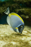Salt water fish - Acanthurus leucosternon Royalty Free Stock Photography