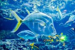 Salt water fish in the ocean. Or aquarium Royalty Free Stock Image