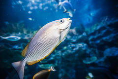 Salt Water Fish in Tank Stock Photography