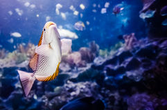 Salt Water Fish in Tank. View of salt water fish in aquarium tank stock photos