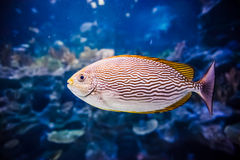 Salt Water Fish in Tank Stock Images