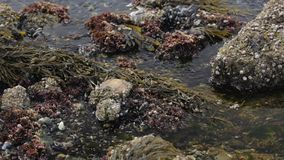 Salt water flowing at low tide with rocks covered with periwinkles stock video footage
