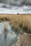 Salt water reed bed Stock Photo