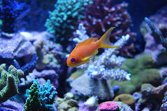 Salt water yellow fish. Sal water yellow fish swimming about in a coral reef Royalty Free Stock Photo