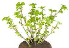 Salta o arbusto de uma passa de Corinto na cama isolada imagem de stock royalty free