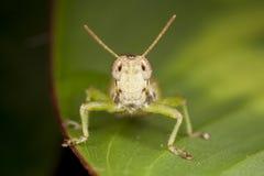 Saltamontes cara a cara del verde de la ninfa Imagenes de archivo