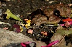Saltamontes en el paisaje de los pétalos y de las hojas dispersados de las flores en el fondo de tierra de la naturaleza Foto de archivo libre de regalías