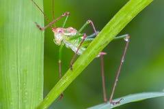 Saltamontes en hierba Fotografía de archivo libre de regalías