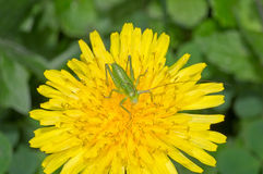 Saltamontes en la flor Imagen de archivo libre de regalías