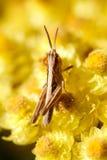 Saltamontes en la flor amarilla Imágenes de archivo libres de regalías