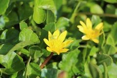 Saltamontes en la flor de la celidonia menor Foto de archivo