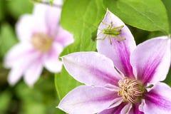 Saltamontes en la flor de la clemátide Fotos de archivo libres de regalías