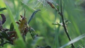 Saltamontes en la hierba verde metrajes
