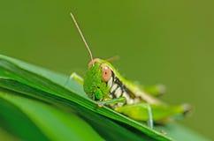 Saltamontes en la hoja verde imagen de archivo